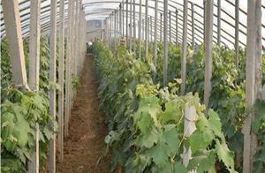 设施葡萄栽培影响植株生长的因素