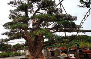 """""""极品千年矮""""不知大家是否了解,树干沧桑神韵,价格自然不菲"""