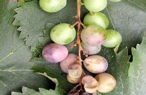 葡萄快成熟时腐烂是怎么回事?防治葡萄白腐病的特效药是什么?