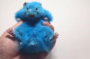 给仓鼠染蓝色,还把仓鼠塞进瓶子,仓鼠再便宜也不能这么玩