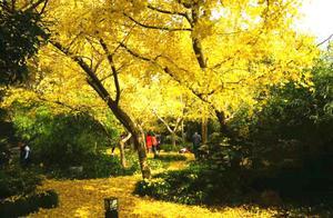 银杏染初冬,来长风公园遇见最美的自己!