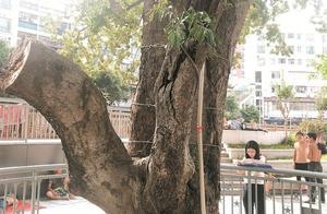 树枝被砍断、树干被铁钉钉入……深圳龙华百年古树生存状况堪忧