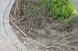 哈尔滨上江街人行道变停车场,大片绿地边缘被压坏