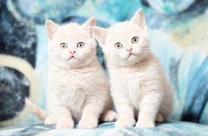 那些让你大呼卧槽的折纸神还原:喜马拉雅猫