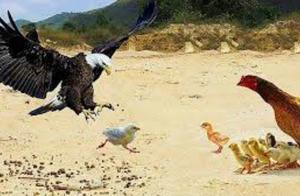 老鹰抓小鸡,母鸡拼命保护,母鸡:想吃我娃,门都没有