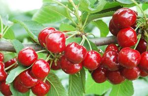樱桃价格跳水,10块一斤堆积如山,国产大樱桃为何成不了车厘子?