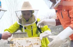 谢霆锋带佟丽娅亲手采蜂蜜,佟丽娅觉得蜜蜂进去了,虚惊一场!