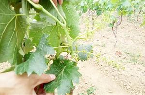 葡萄树开花旺盛期间,对葡萄串弱串进行摘除,保证葡萄串的品质