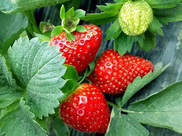 又到草莓苗季!广集县番禺摘草莓苗边度好?看好功略,一块!