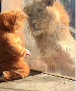 游客戏闹大狮子,在动物园将其小孩抱走,大狮子暴怒在边缘