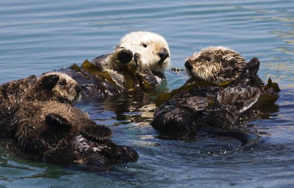 可爱的海獭睡觉时会跟其他海獭手牵手一起睡觉图片