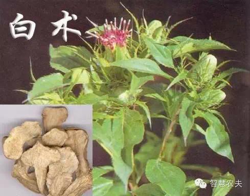 17个适合农村种植的药材品种,效益非常可观