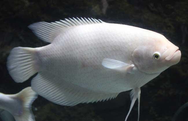 鱼有心脏吗 鱼有耳朵吗