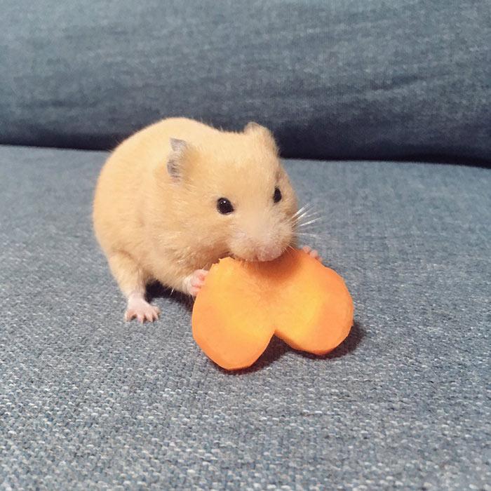 努力跨越沙发缝的小仓鼠,萌化了
