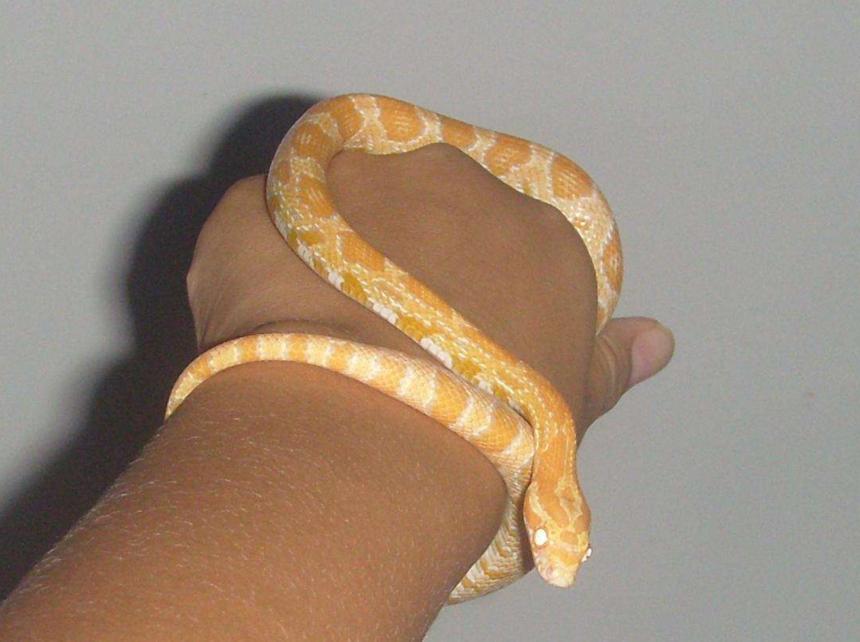 玉米蛇的喂养和把玩技巧,早知道早上手,别人戴手环你戴蛇!