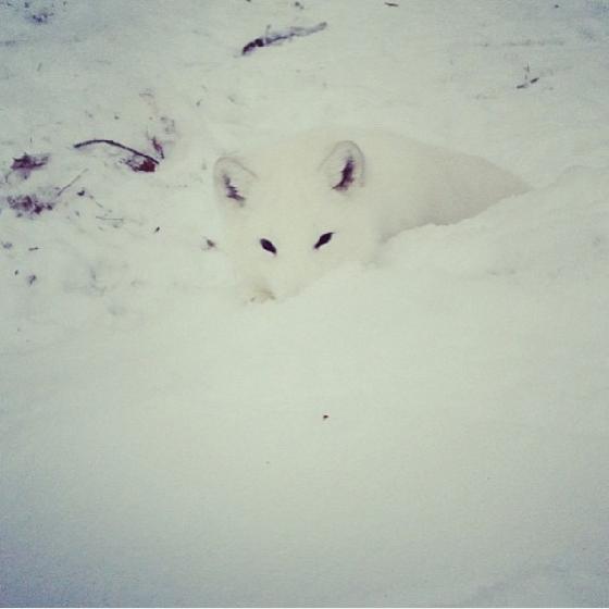 你知道狐狸是怎么叫的嘛,这只北极狐魔性笑声萌翻网友!
