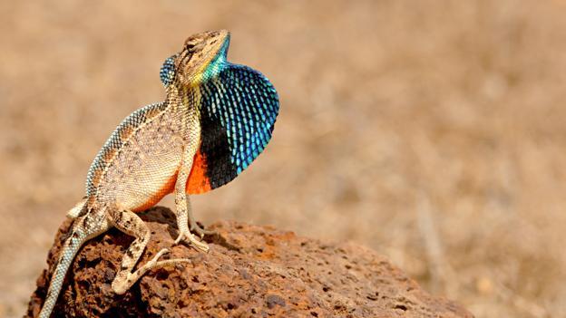 5种蜥蜴新物种:雄性利用喉扇吸引潜在配偶
