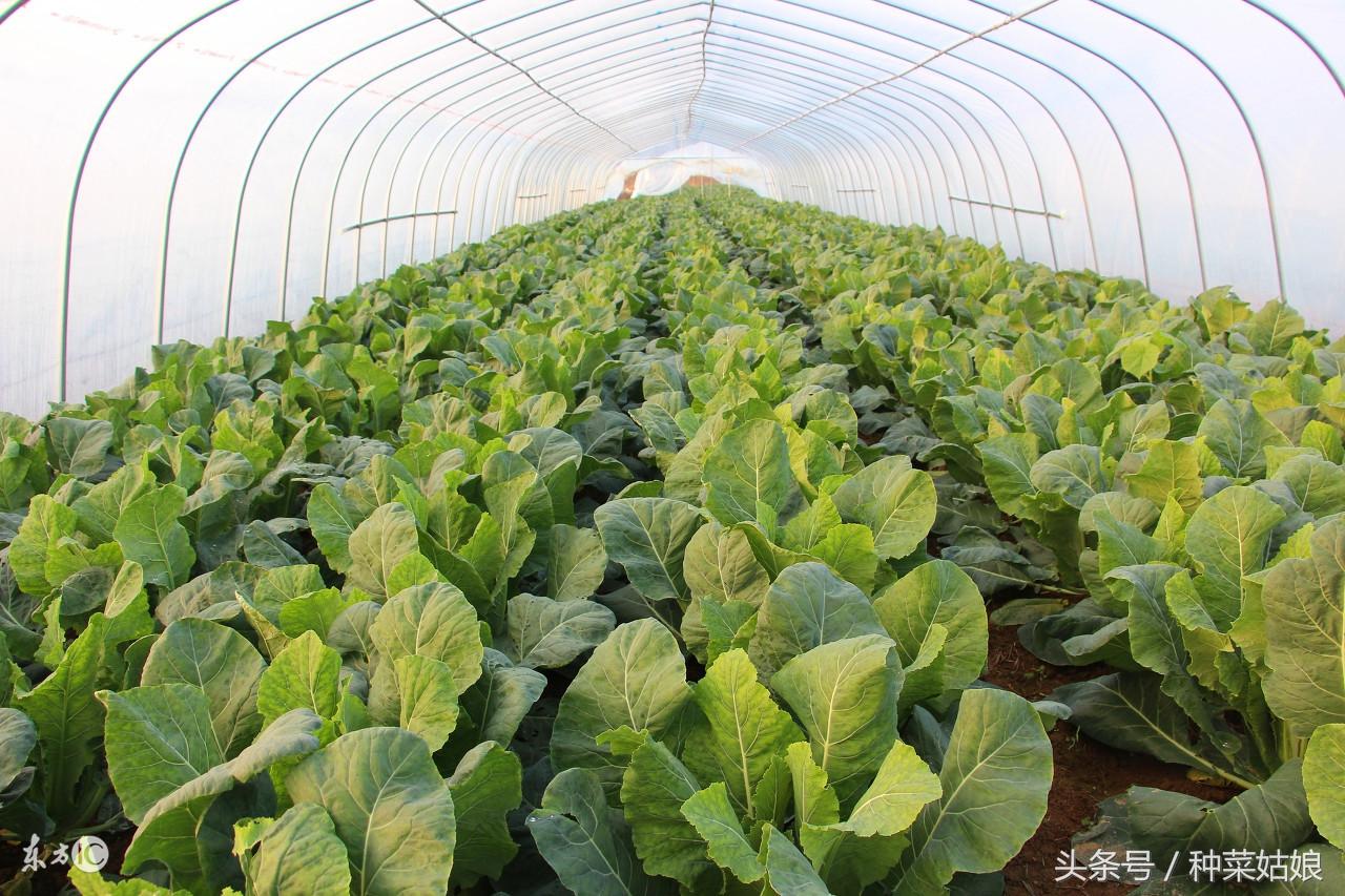 大棚种植这些菜,投入不大还好养,最容易赚钱!
