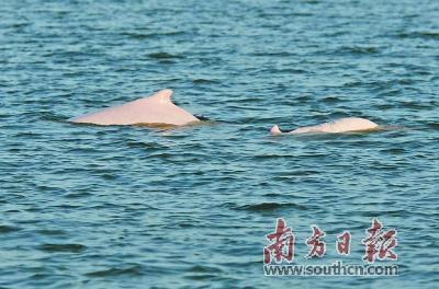 """中华白海豚""""回归""""汕头湾"""
