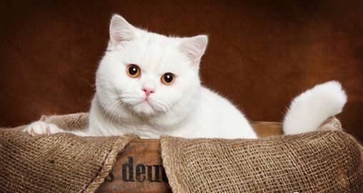 最主流的猫咪品种?英国短毛猫,喂养健康全攻略~