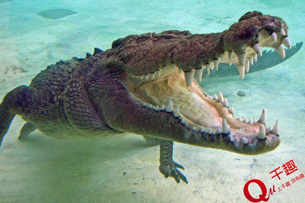 养一只鳄鱼做宠物近六十年!你敢吗?