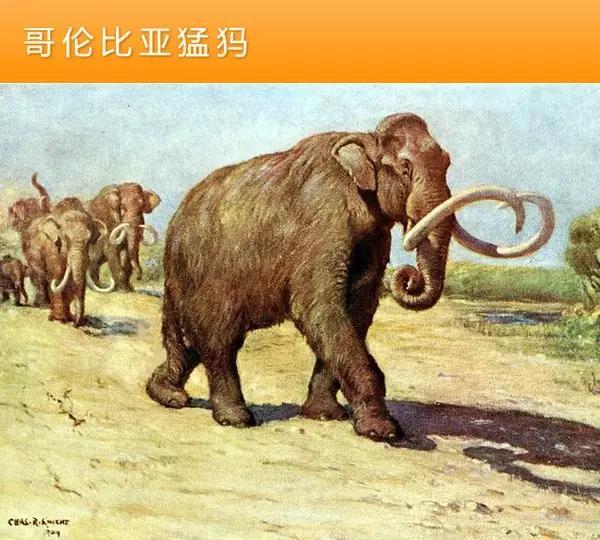 猛犸象的种类资料及图片13