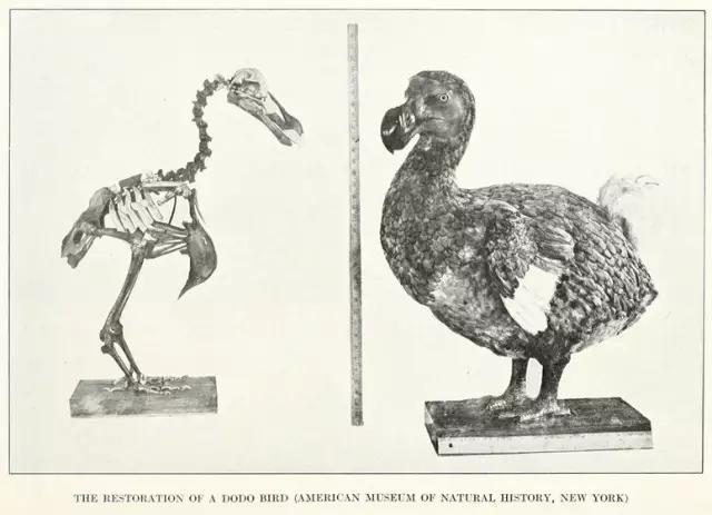 善良可爱而又命运悲惨的动物-渡渡鸟