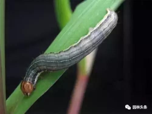 干货 常见园林虫害识别与防治方法! 园林病虫防治 第12张