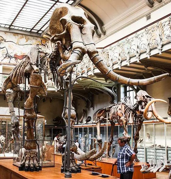 猛犸象的种类资料及图片21