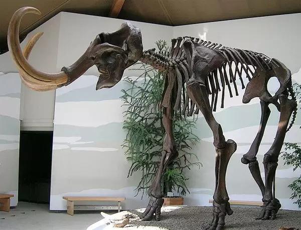 猛犸象的种类资料及图片05