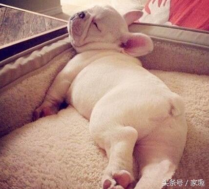 狗狗奇葩睡姿公開,呆萌好笑搞怪,有的還像大蝦,讓人哭笑不得!