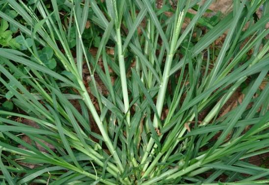 农村有一种野草叫拌倒驴,农民也称油胡芦草