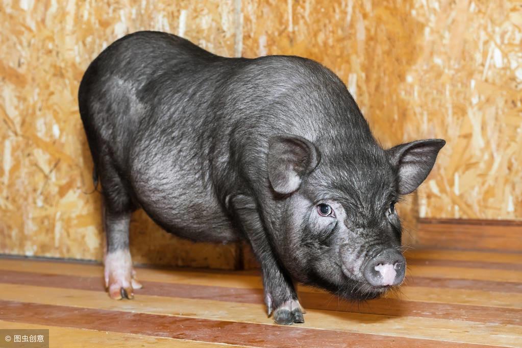 判断母猪是否怀孕记住这4点就够了,不需要买试纸,不用买仪器!