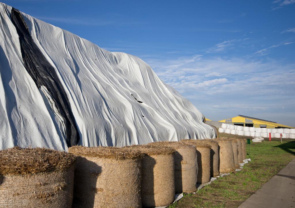 中小养羊、养牛户咋做青贮玉米秸秆发酵?