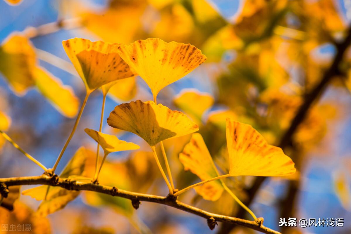 春去秋又尽,最美不过银杏黄