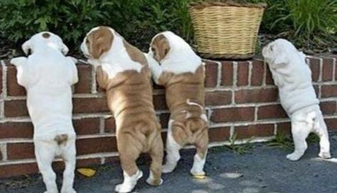 """狗""""翘屁股""""有这6大含义,养狗多年的你知道吗?"""