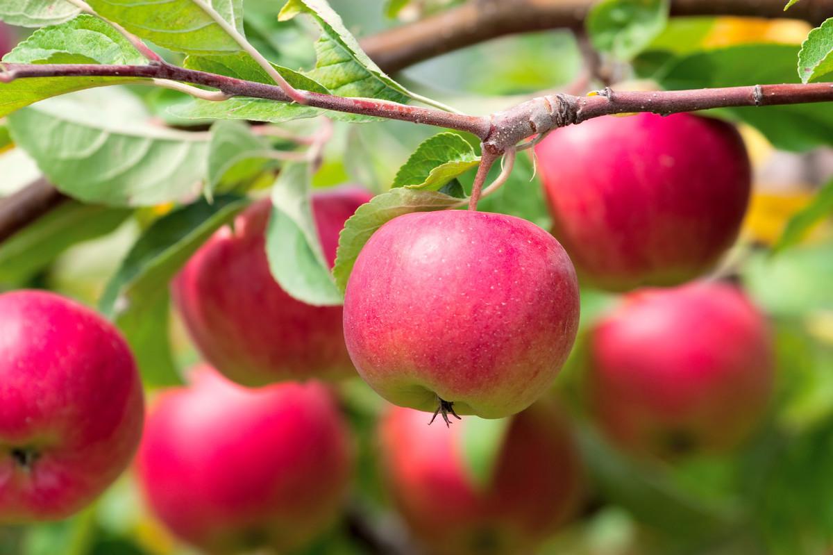 果树施肥要注意时间、方法和技巧,科学施肥才能确保果园高产优收