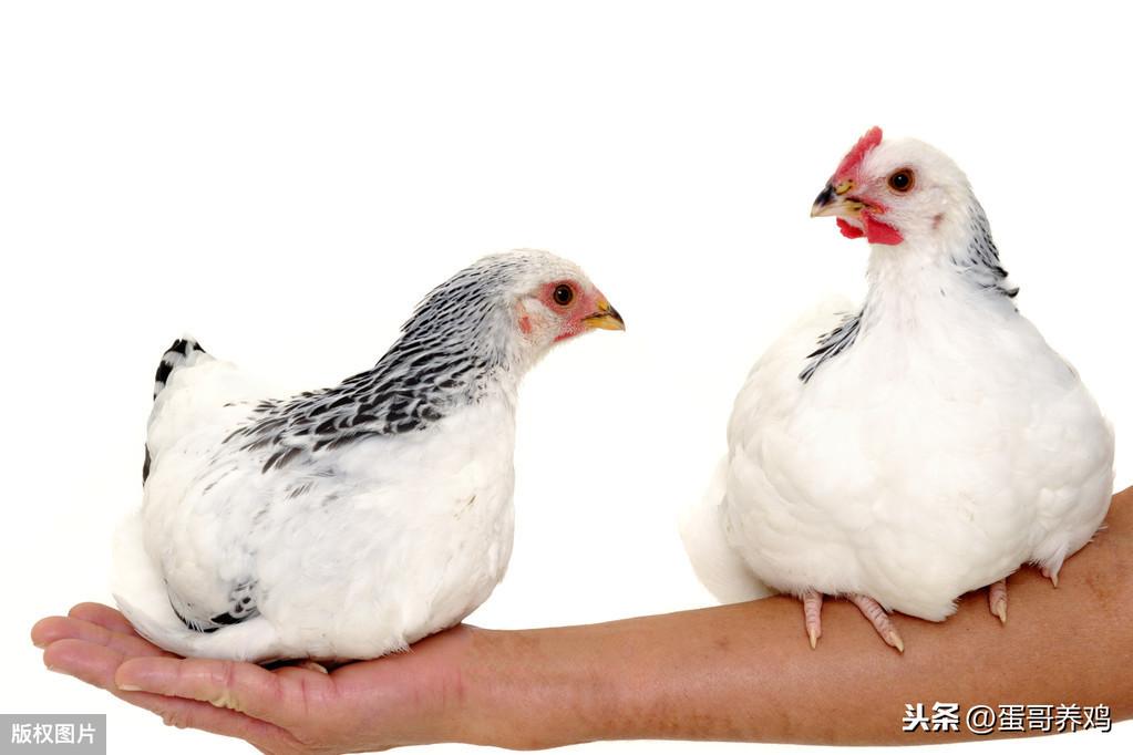家禽产蛋量低?严把管理的三道关和两个要点,提升蛋鸡养殖效益