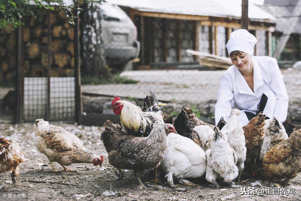 蛋鸡卵黄性腹膜炎不可怕!养鸡人掌握以下4点,轻松防治 疾病防治 第5张