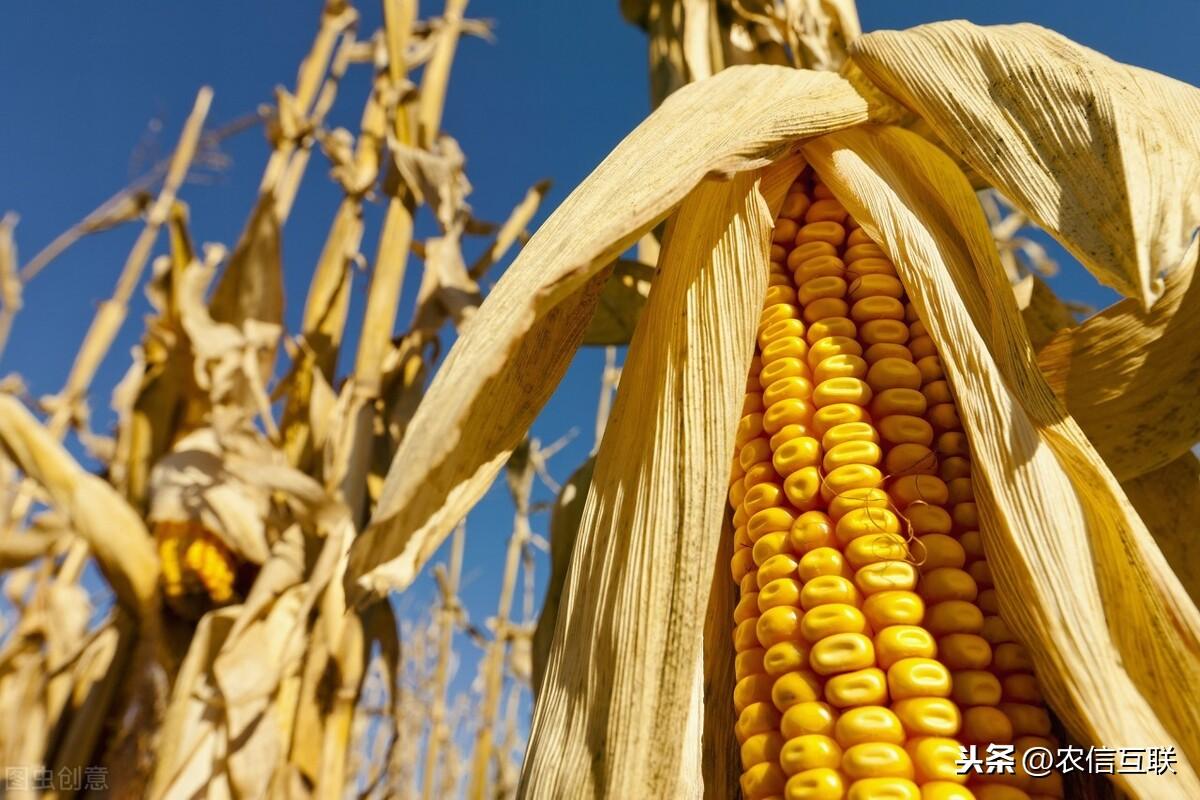 中国采购3000万吨美国玉米,会引发玉米暴跌?不要忽略这三点