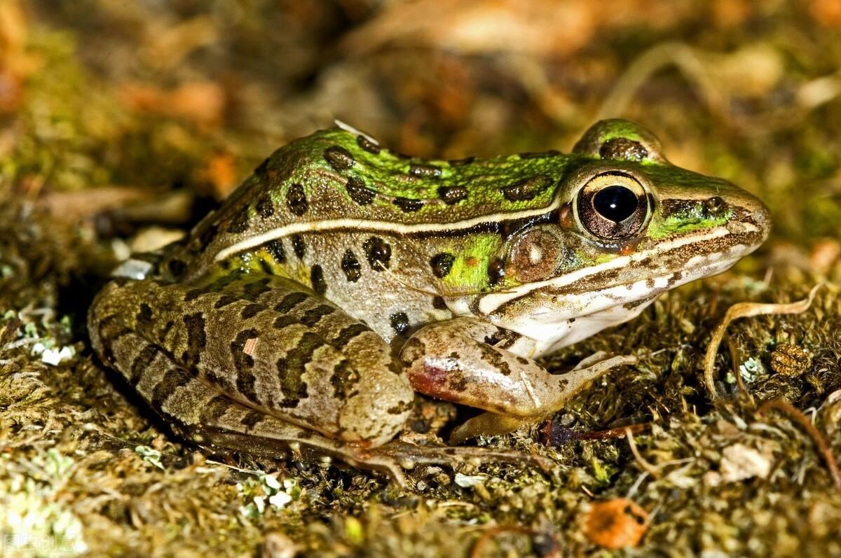 青蛙可以养殖了吗?农业农村部最新发布