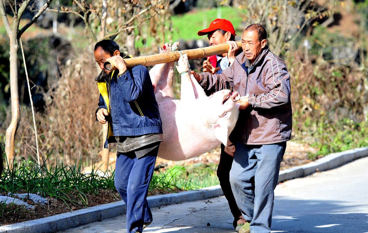 生猪出栏量陡增,9月猪价下跌明显,2020年底前猪价行情预测