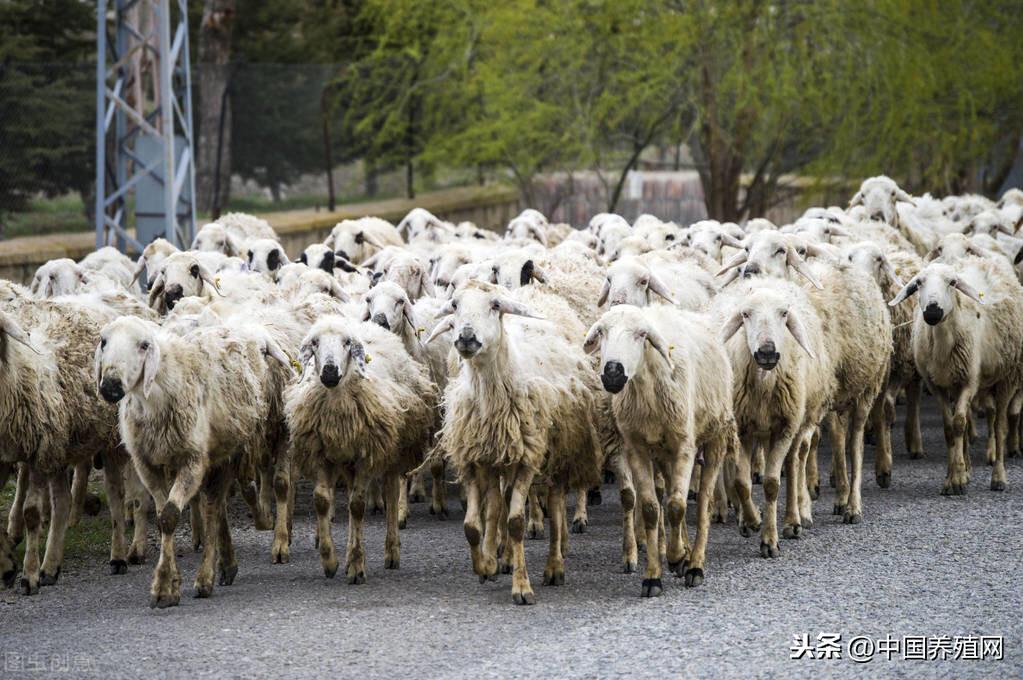 奶羊产奶少的原因?如何提高奶山羊产奶量?