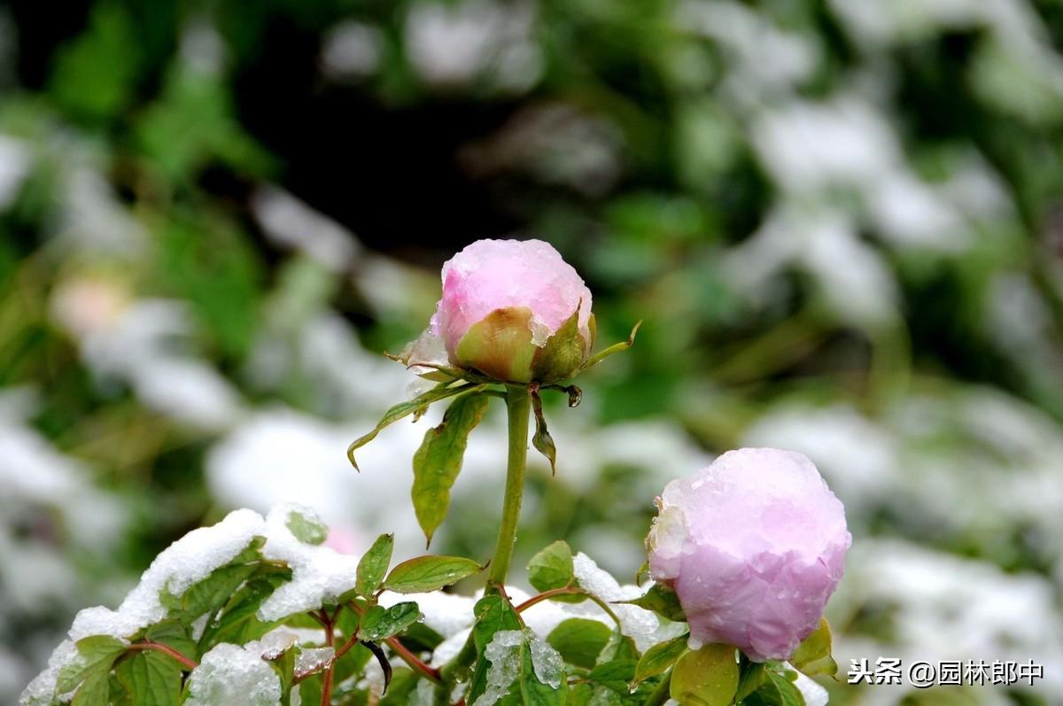 暖冬情况下,园林病虫害防治 疾病防治 第4张