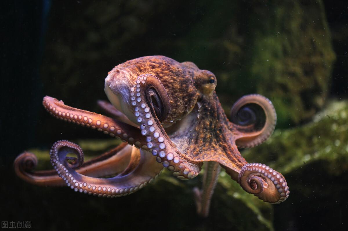 八只脚当中有一只是生殖器,交配完就会死亡的章鱼
