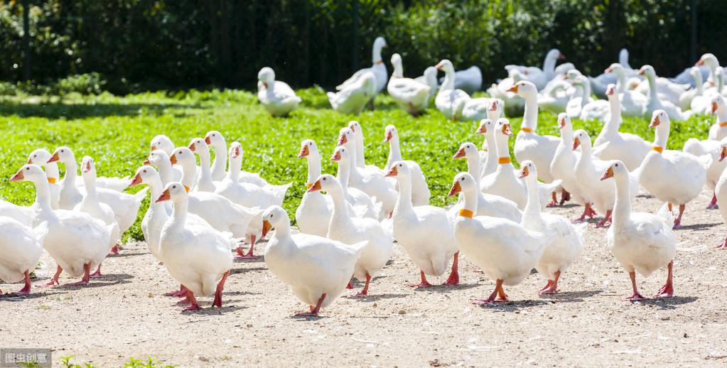 农村创业,4种冷门养殖项目,市场前景广、收入要比打工强多了