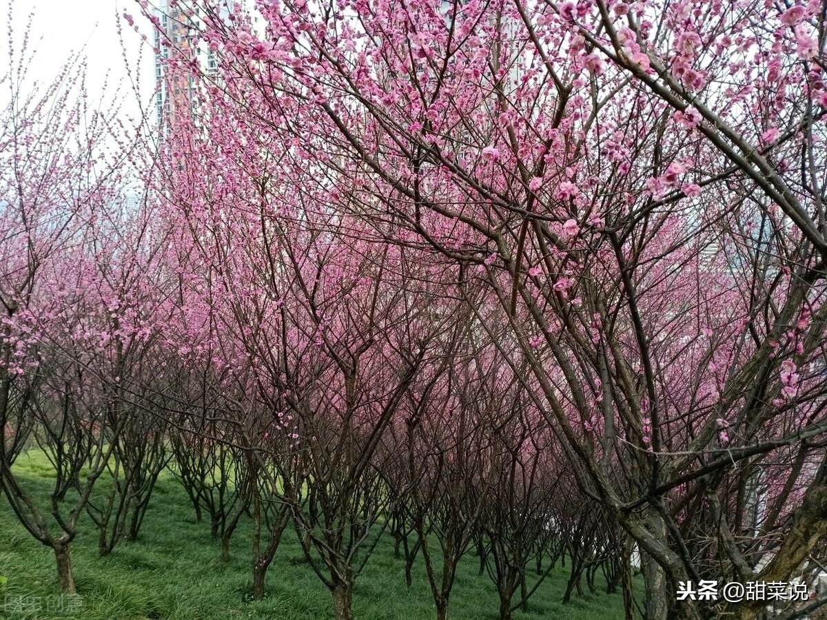 南沙绿肺,广州免费的森林公园,樱花正迎春绽放