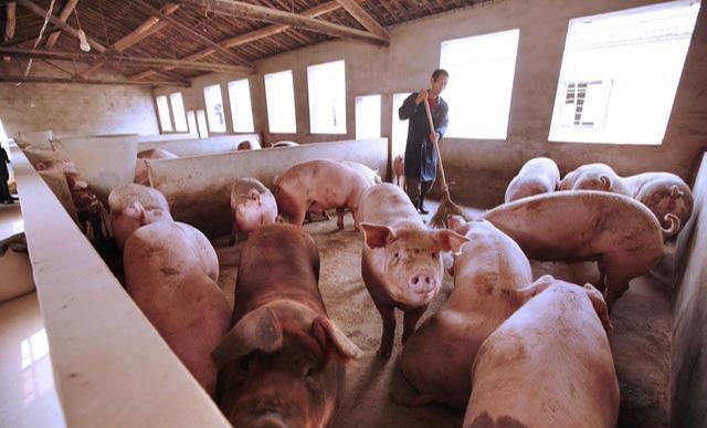"""猪肉的价钱""""解信心理状态""""迅速提高,碰触究竟部疯涨15.一元,生猪价钱上下位起伏,后市要凉?"""