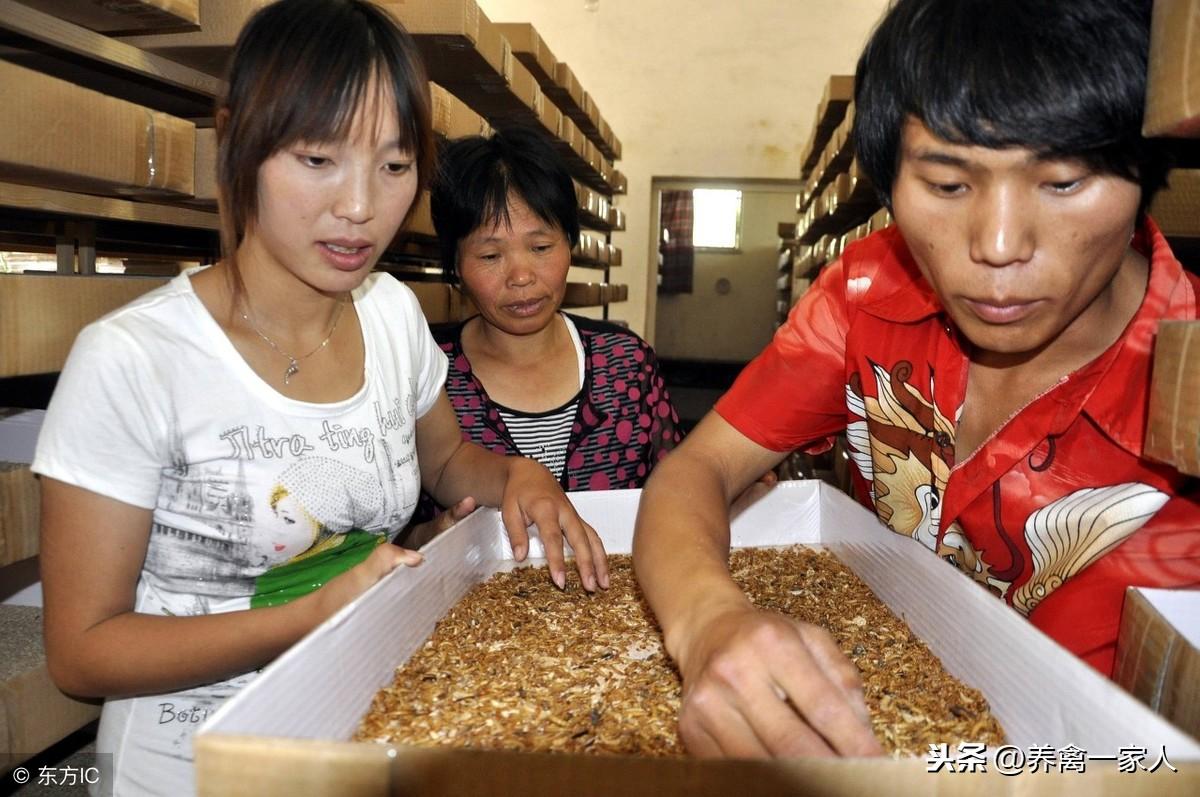 养鸡秘诀:散养土鸡营养餐—黄粉虫养殖技术揭秘 太详细了!收藏!