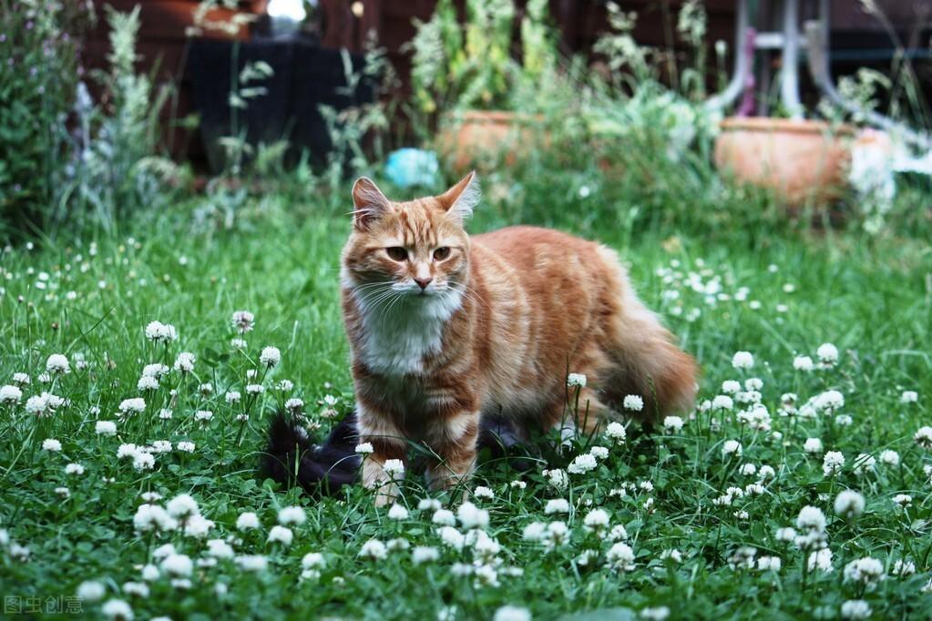 關於貓咪發情那些事,鏟屎官們一定要提前知道